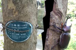 宜蘭大学に集まるカブトムシ